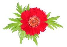 Fiore rosso di bellezza isolato Fotografia Stock Libera da Diritti