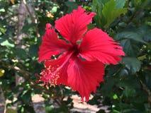 Fiore rosso di Caienna immagini stock libere da diritti