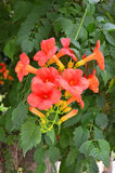 Fiore rosso di Campsis Immagini Stock