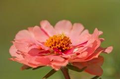 Fiore rosso di color salmone di Portulaca Immagini Stock