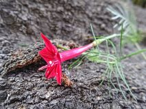 Fiore rosso di fioritura della vite di Cypress sul fondo approssimativo di struttura della corteccia di albero nel giardino immagine stock libera da diritti