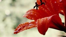 Fiore rosso di hippeastrum video d archivio