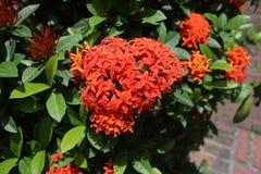 Fiore rosso di Ixora immagine stock libera da diritti