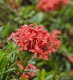 Fiore rosso di Ixora Fotografia Stock