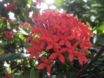 Fiore rosso di Ixora con illuminazione del sole illustrazione di stock