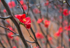 Fiore rosso di japonica di chaenomeles sul brunch senza foglie in Toowoomba, Australia Immagini Stock