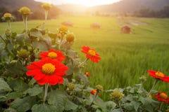 Fiore rosso di Klang Luang Chiang Mai Thailand The immagine stock libera da diritti