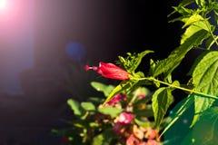 Fiore rosso di mattina Fotografie Stock Libere da Diritti