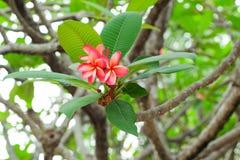 Fiore rosso di plumeria Immagine Stock