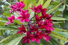 Fiore rosso di plumeria fotografia stock libera da diritti