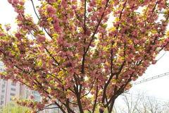 Fiore rosso di sakura su un piccolo albero Immagine Stock Libera da Diritti