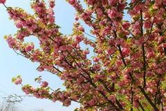 Fiore rosso di sakura sull'piccoli branchres Fotografia Stock