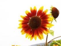 Fiore rosso di Sun Immagine Stock Libera da Diritti