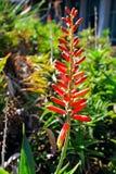 Fiore rosso di vera dell'aloe Immagini Stock
