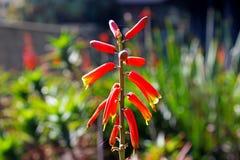 Fiore rosso di vera dell'aloe Fotografia Stock