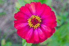 Fiore rosso di zinnia al primo piano concentrare Immagini Stock
