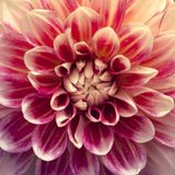 Fiore rosso e bianco dettagliato della dalia Chiuda sull'immagine immagine stock