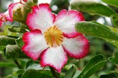 Fiore rosso e bianco nella pioggia Fotografia Stock Libera da Diritti