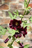 Fiore rosso e gambo verde Immagine Stock