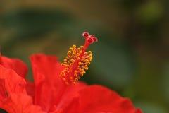 Fiore rosso e giallo Immagini Stock