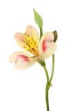 Fiore rosso e giallo di Alstroemeria Immagine Stock