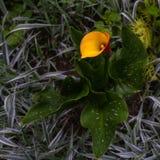 Fiore rosso e giallo solo della calla Immagini Stock Libere da Diritti