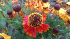 Fiore rosso ed arancione immagini stock