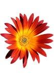 Fiore rosso ed arancione Fotografie Stock Libere da Diritti