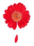 Fiore rosso ed un petalo su una priorità bassa bianca Fotografia Stock Libera da Diritti