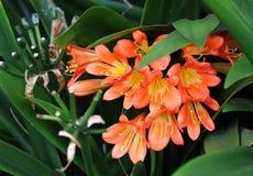 Fiore rosso esotico con i pistilli gialli nell'isola di Maui fotografia stock