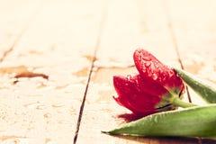 Fiore rosso fresco del tulipano su legno Bagnato, rugiada della molla di mattina Immagine Stock Libera da Diritti