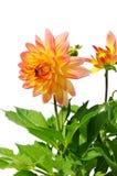 Fiore rosso giallo della dalia isolato su bianco Fotografia Stock