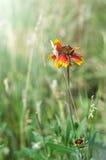 fiore Rosso-giallo nel campo Fotografia Stock