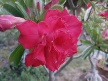 Fiore rosso in giardino fresco Immagine Stock Libera da Diritti