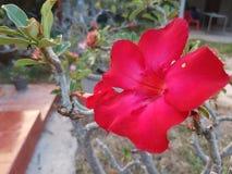 Fiore rosso in giardino fresco Immagini Stock