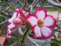 Fiore rosso in giardino fresco Immagini Stock Libere da Diritti