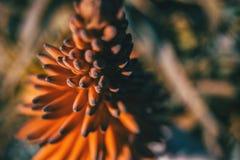 Fiore rosso intenso di aloe feroce al sole Fotografia Stock Libera da Diritti