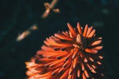 Fiore rosso intenso di aloe feroce al sole Immagini Stock Libere da Diritti
