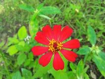 Fiore rosso la Sri Lanka Fotografie Stock