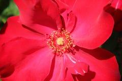 Fiore rosso luminoso Fotografie Stock Libere da Diritti