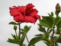 Fiore rosso luminoso dell'ibisco Fotografia Stock
