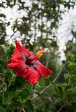 Fiore rosso maestoso con il pestello lungo Fotografie Stock Libere da Diritti