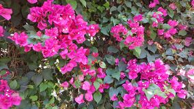 Fiore rosso magenta Immagine Stock Libera da Diritti