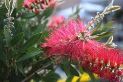 Fiore rosso nel giardino immagini stock libere da diritti