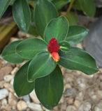 Fiore rosso nel giardino Fotografie Stock Libere da Diritti