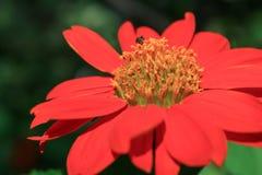 Fiore rosso nel giardino Fotografia Stock Libera da Diritti
