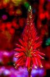 Fiore rosso psichedelico dell'aloe nel formato di ritratto Immagine Stock Libera da Diritti