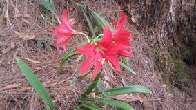 Fiore rosso selvaggio dello Sri Lanka fotografie stock libere da diritti