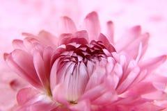 Fiore rosso sul rosa Fotografie Stock Libere da Diritti
