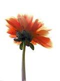 Fiore rosso su priorità bassa bianca Immagine Stock